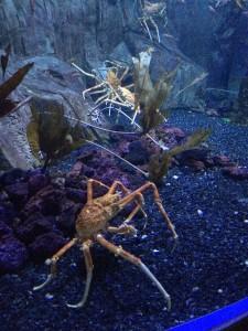Giant Spider Crabs in the Dubai Mall Aquarium